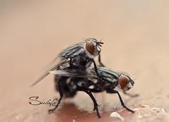 Making Love (Sulafa) Tags: insect makinglove