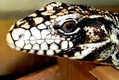 Profile (EcoSnake) Tags: education eating lizards reptiles tegu tupinambismerianae tupinambisteguixin argentinetegu