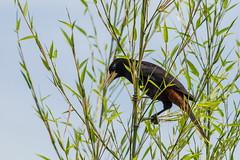 Psarocolius decumanus (Jos M. Arboleda) Tags: bird canon eos colombia jose ave 5d crested arboleda icteridae markiii popayn oropendola psarocolius ef400mmf56lusm decumanus crestada oropndola josmarboledac