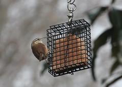 Carolina Wren (btusdin) Tags: bird wren carolinawren coffeecream suetfeeder 365daysincolor 365d