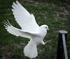 Dove DSC_2247.jpg (Sav's Photo Gallery) Tags: uk london birds dove gb hollandpark whitedove savash