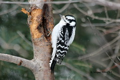 Downy Woodpecker (Picoides pubescens) (Gerald (Wayne) Prout) Tags: downywoodpecker picoidespubescens animalia chordata aves piciformes picidae picoides pubescens male grubs herseylakeconservationarea cityoftimmins northernontario northeastern ontario canada prout geraldwayneprout canon canoneos60d eos 60d digital camera photographed photography downy woodpecker birds wildlife nature animals conservationarea conservation area hersey herseylake timmins city walking hiking biking birding avian fauna tree canonlensef70300mmf456isusm lens ef70300mmf456isusm northeasternontario