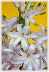 The Waxy White Beauty of the Hyacinth Flower. (Bill E2011) Tags: flowers white nature beauty mediterranean asparagaceae scilloideae hyacinthwaxy