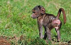 Baboon Infant - 7849b+ (teagden) Tags: africa wild baby photography nikon infant little kenya wildlife young safari baboon babybaboon kenyasafari africansafari lakenakuru africanwildlife wildlifephotography olivebaboon kenyawildlife jenniferhall jenhall babyolivebaboon infantbaboon jenhallphotography