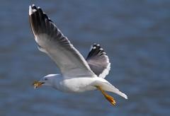 Lesser Black-backed Gull (Matt Scott Wildlife Photography) Tags: elements