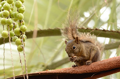 Serelepe (Ingram's squirrel) (Jonatan Vitor Lemos) Tags: nature animal squirrel wildlife naturelovers serelepe sciurus ingrams ingrami