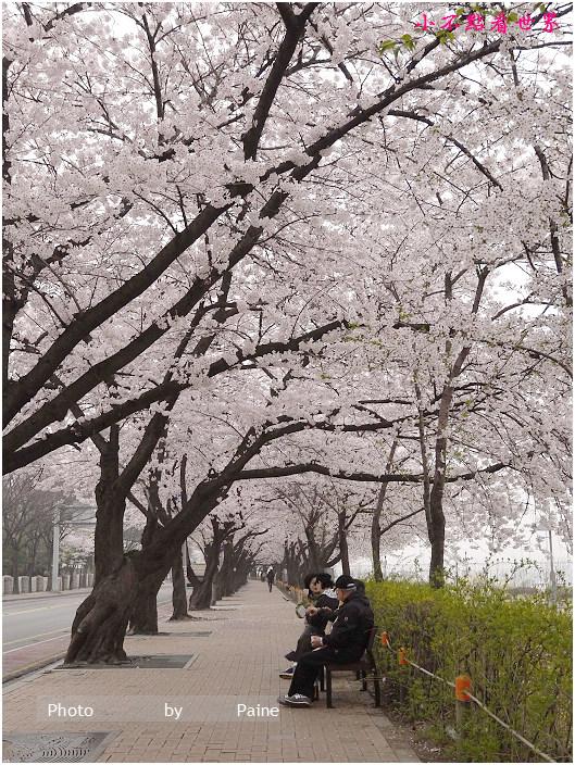 首爾汝矣島輪中路櫻花 (56).JPG