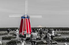 B & W Windmill (Infinite Dust) Tags: flower nature windmill tulip