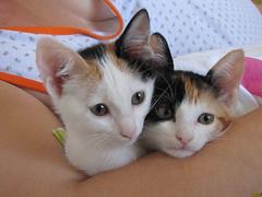 Doce e Mel (Renan Spolon) Tags: cats animal cat gato gata felino animais filhote voltaredonda barradopirai domstico renanspolon