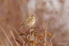 Savannah Sparrow on its wilted perch (Chantal Jacques Photography) Tags: savannahsparrow bokeh depthoffield wildandfree cattlepoint perch