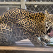 Jaguar Gamboa Wildlife Rescue pandemonio 2017 - 07
