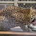 Jaguar Gamboa Wildlife Rescue pandemonio 2017 - 07