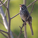 Song Sparrow (Tom Nord) Tags: bird laarboretumsongsparrow sparrow arboretum botanicalgardens