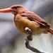 Ruddy Kingfisher (bangsi)