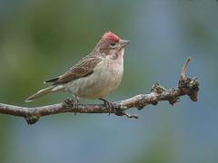Cassin's finch - male (mikewiz) Tags: birds finches cassinsfinch carpodacuscassinii grandforksbc