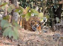 India (Ranthambhore National Park) Sleeping Bengal Tiger (ustung) Tags: india ranthambhore nationalpark bengaltiger tiger animal sleeping nature nikon
