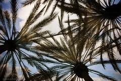 California shade.... (Joe Hengel) Tags: californiashade california ca clouds cloudsorangecounty cloudsbluesky cloudy theoc ranchosantamargarita orangecounty oc outdoor tree trees palmtrees palmtree palmfronds palm goldenstate shade 7dwf silhouette silhouettes