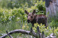Moose Calf (jerryherman1) Tags: grandteton moose mammal