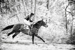 downhill racer (Jen MacNeill) Tags: thoroughbred brandywinehills pointtopoint race horse equine steeplechase chestercounty racing pa pennsylvania blackandwhite bw bnw jockey