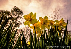 6 Daffodils (T i s d a l e) Tags: tisdale 6daffodils flower winter february 2017 easternnc