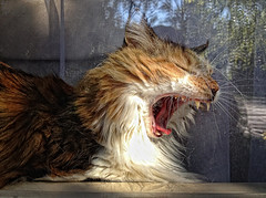 it's time for a nap (LotusMoon Photography) Tags: cat animal furry sleepy sunlight window kitty pet yawn yawning nap lazy annasheradon lotusmoonphotography