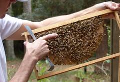 Queen bee (alansurfin) Tags: honeybees apismellifera apicultura abeilles abejas bienen queen bees aperegina regina reine reina reinedesabeilles lareine eggs honeycomb comb beekeeping