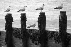 Quintet, Selsey (Sean Hartwell Photography) Tags: selsey selseybill westsussex sussex seaside sea seagull bird 5 five quin quintet england southcoast english channel ocean herringgulls adolescent