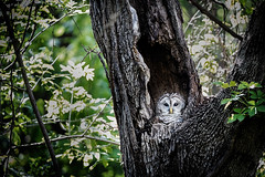 _MG_7290 (johncha1) Tags: barred owl bird