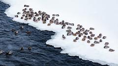 Montreal (wfelizola) Tags: ducks animals birds snow snowing lake frozen montreal canada quebec