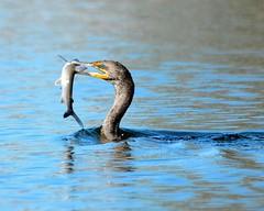 D71_6475 (Capt A.J.) Tags: cormorant cormorants eating food fish channel cat
