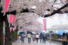 Rainy Hanami (H.H. Mahal Alysheba) Tags: sakura cherryblossom people tokyo japan flower railroad tobu nikon d800 afs nikkor 105mmf14 asakusa
