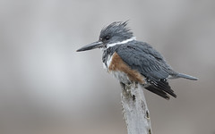 Belted Kingfisher fem (sspike@rogers.com) Tags: kinmgfisher belted avian steverossi nature wildlife ontario green canon kingfisher