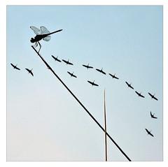 spectator (me*voilà) Tags: birds flight onblue cranes insect grass