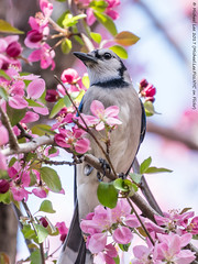 Blossoms and Blue Jay (20170416-DSC02283) (Michael.Lee.Pics.NYC) Tags: newyork centralpark conservatorygarden bluejay bird crabapple blossoms flower spring bokeh sony a6500 fe70300mmg