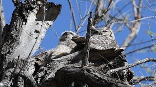 Great Horned Owls Video1