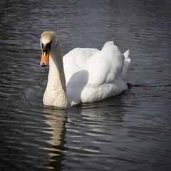 Beautiful swan (JVN91) Tags: swan zwaan mooi beautiful animals dieren waterdier waterdieren breda nederland waterdrops waterdruppels