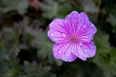 Geranium 'Breathless' (MGormanPhotography) Tags: geranium breathless geraniaceae perennial cranesbill pink rose flower bloom black purple dark green foliage patent
