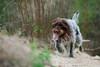 2017-04-12 à 16-05-58.jpg (martinmichiels) Tags: dog sand drathaar canon 5d mkii mark2 mk2 ef85mmf18 belgium northsea oostduinkerke