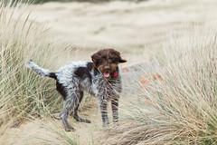 2017-04-12 à 16-33-56.jpg (martinmichiels) Tags: dog sand drathaar canon 5d mkii mark2 mk2 ef85mmf18 belgium northsea oostduinkerke