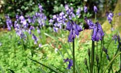 Bluebells (Andrew Gustar) Tags: westonbirt arboretum bluebells