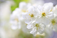 Blossom like snowflakes... (eleni m (busy remodeling house and garden)) Tags: blossom white flowers outdoor macro soft dof quote