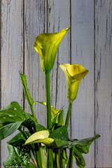 Calla Lily in front of barn (Bob from Caledon) Tags: flowers callalily lily