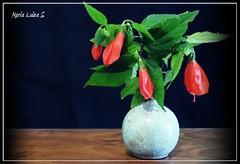 Malvaviscus arboreus (Maria Luiza S) Tags: still flowers vase blue red