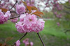 cherry blossoms, central park (Charley Lhasa) Tags: ricohgrii grii 183mm 28mm35mmequivalent iso400 ¹⁄₅₀₀secatf28 0ev aperturepriority pattern noflash r014490 dng uncropped taken170420175225 uploaded170421030114 3stars flagged adobelightroomcc201510 lightroomcc201510 adobelightroom lightroom cherryblossoms flowers blooms cherrytrees kwanzancherry kwanzan trail path centralpark nycparks manhattan newyorkcity nyc newyork ny day tumblr170420 gothamist httpstmblrcozpjiby2krorh