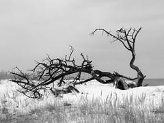 Malerisches Baumskelett (Wunderlich, Olga) Tags: deu dars prerow sand baumskelett ostsee mecklenburgvorpommern natur landschaft landscape naturaufnahme baum zingstdarsfischlandschaft