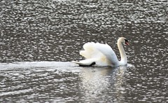 ...gracing waters... (carbumba) Tags: swan bird flyer water glittery white nature closeup swim