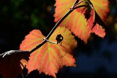 Autumn 3 (Ptolemy the Cat) Tags: nikond600 nikonf355628300mmlens autumn grapevine foliage autumncolours