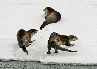 Three Otters On Shore (Lontra canadensis)