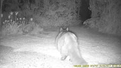 TrailCam223 (ohange2008) Tags: cat badger fox essexgarden peanuts dogfood spongecake