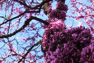 Spring has arrived - Cercis siliquastrum